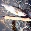 A Brown Trout From Lochan Feith Mhic'-Illean