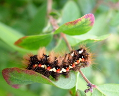 Acronicta rumicis Knot Grass Moth Caterpillar