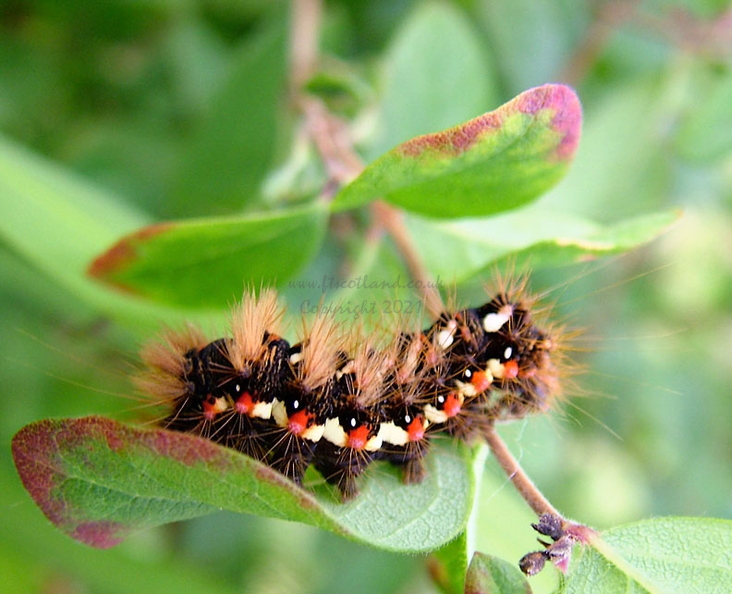 acronicta-rumicis-caterpillar-003.jpg