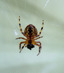 Common Garden Spider (Araneus diadematus)
