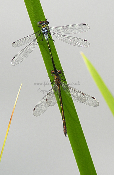 emerald-damselfly-004.jpg