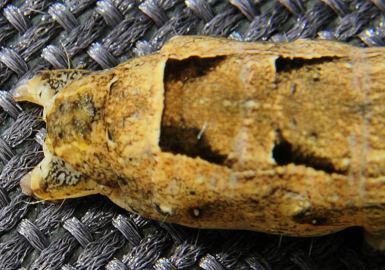 large-yellow-underwing-moth-caterpillar-rear.jpg