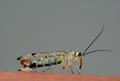 Scorpion Fly Panorpa germanica