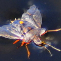 Forest Shieldbug Pentatoma rufipes After Landing In The Water Showing It's Open Wings