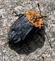 Oieceoptoma thoracicum Carrion Beetle