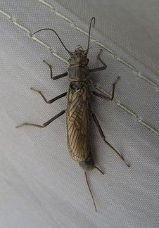 Stone Fly Female