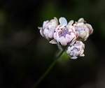 Another One Of The Many Alpine Plants We Found Around The Loch. Antennaria dioica  Mountain Everlasting