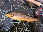 Brown Trout Twelve Ounces