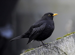 Blackbird Male (Turdus merula)