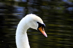 Mute Swan Head Male (Cygnus olor)