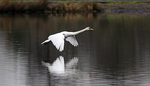 Mute Swan (Cygnus olor) Landing On Water