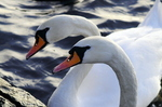 Mute Swan (cygnus olor) Male And Female Heads
