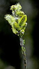 Willow Catkins (Salix)