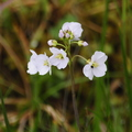Cardamine pratensis (Cuckoo Flower or Lady's Smock)
