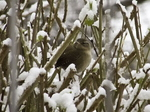 Wren in the Snow