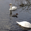 Goosander and Mute Swans