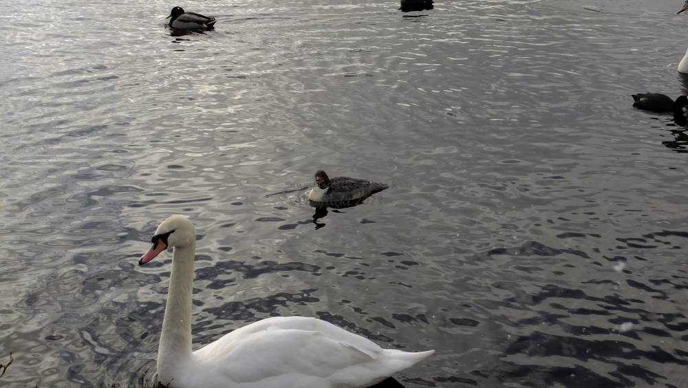 Goosander and Mute Swan