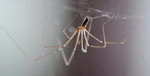 Cellar Spider (Pholcidae) Pholcus phalangioides