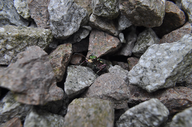 green-tiger-beetle-007.jpg