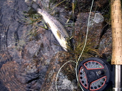 Brown Trout From Loch A'an (Avon)