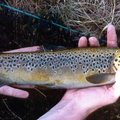 Loch Fada Brown Trout