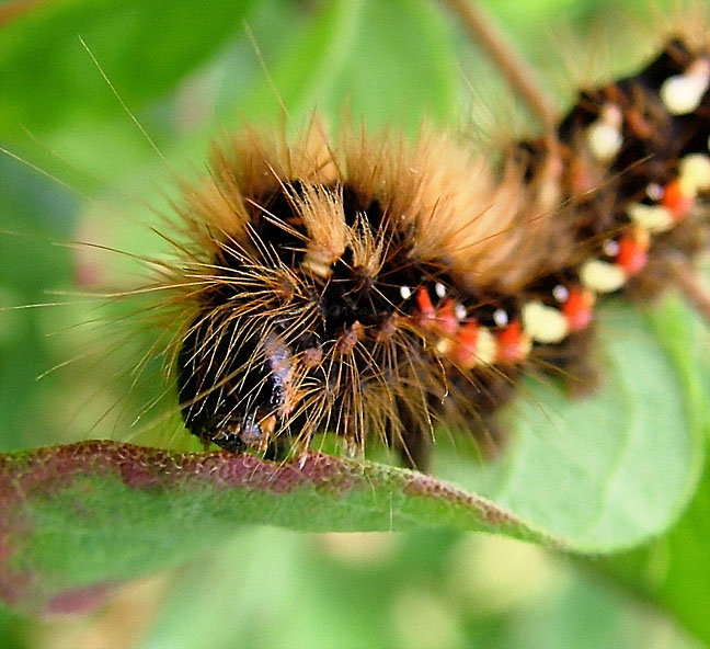 acronicta-rumicis-caterpillar-002.jpg