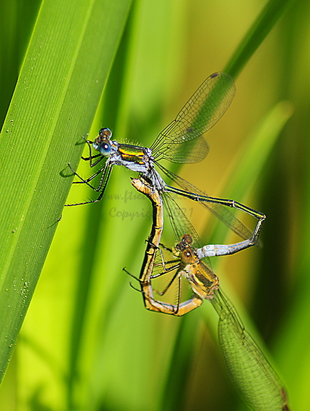 emerald-damselfly-001.jpg