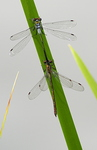 Mating Emerald Damsel Flies (Lestes Sponsa)