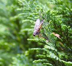Oak Fly, Downlooker, Snipe Fly Or Stob Fly ( Rhagio scolopaceus) It Is Known By All These Names