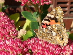 Painted Lady Vanessa cardui  - Underwing