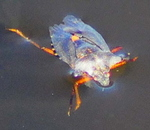 Forest Shieldbug Pentatoma rufipes After Landing In The Water