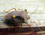 Forest Shieldbug Pentatoma rufipes