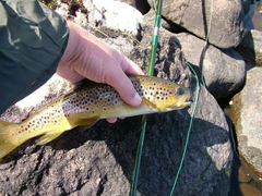 Brown Trout and New Rod