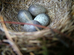 Meadow Pipit (Anthus pratensis) Nest and Eggs