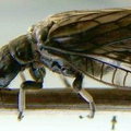 Close Up Of Alder Fly