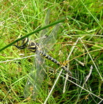 Gold-Ringed Dragon Fly ( Cordulegaster Boltoni )