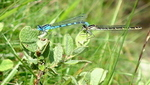 Mating Damsel Flies