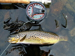Brown Trout From Loch Dubh Mhor