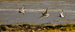 Curlew (Numenius arquata) and Oystercatchers (Haematopus ostralegus) Flying