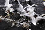 Gulls Attacking A Goosander