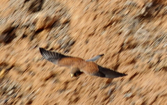 Kestrel (Falco tinnunculus) in flight Tenerife