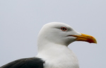 Lesser Black Backed Gull (Larus fuscus) Head