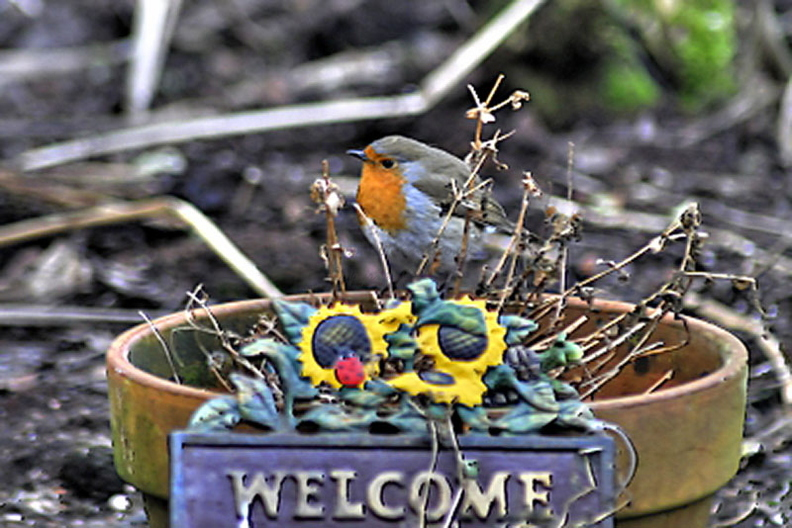 Robin On Welcome Sign (Erithacus rubecula)