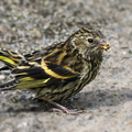 Siskin (Carduelis spinus) Young