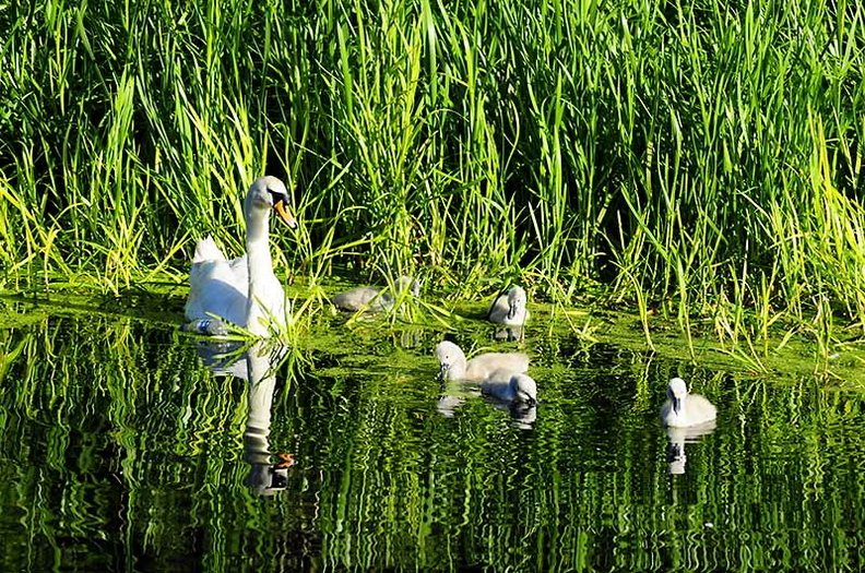Mute Swan Female With Cygnets