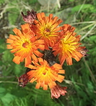 Fox-and-Cubs  [Orange Hawkweed]  Pilosella aurantiaca
