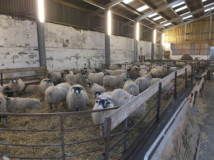 Lambing Ewes At Corrow Farm