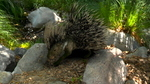 Crested Porcupine Catalyzer
