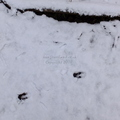 Roe Deer Tracks