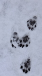 Badger Tracks? (I think)